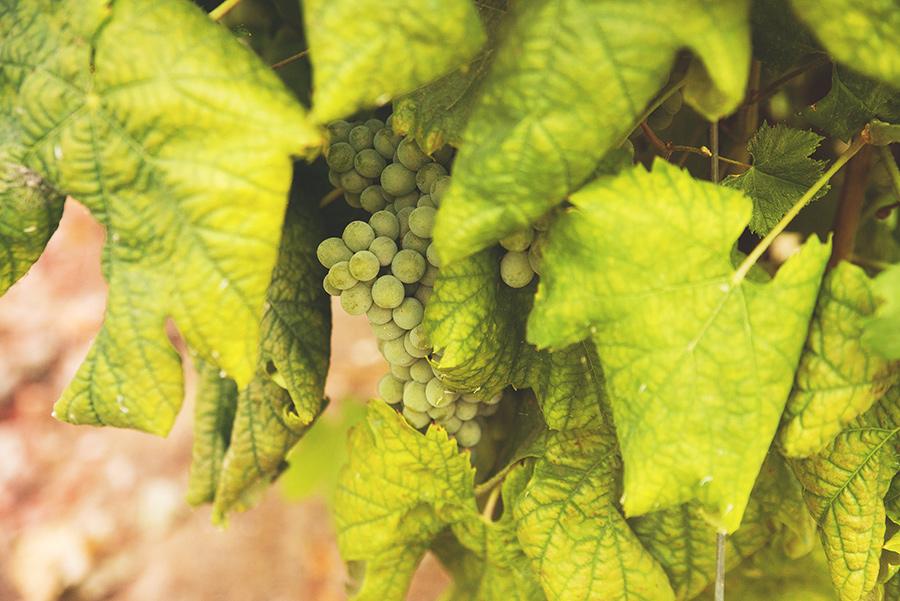 green grapes, winery.Quinta Vale De Locaia Lamego . Portugal. Katerina Alepa . Layer Photography